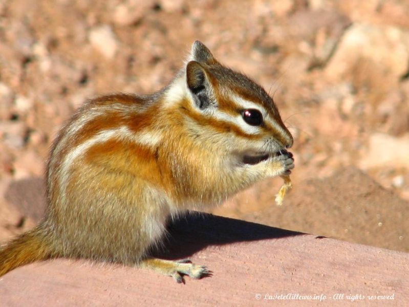 Un Colorado Chipmunk